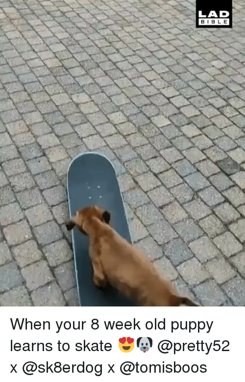 Skate: LAD  BIBLE When your 8 week old puppy learns to skate 😍🐶 @pretty52 x @sk8erdog x @tomisboos