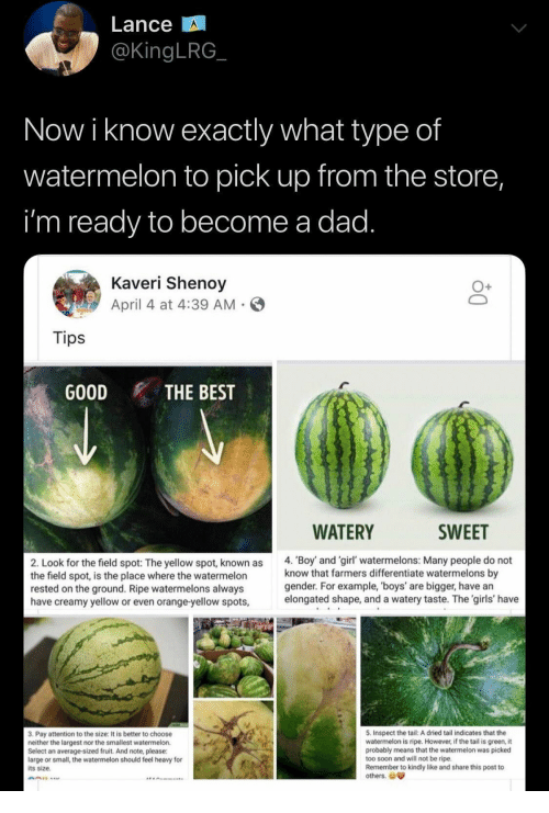 too soon: Lance  @KingLRG  Now i know exactly what type of  watermelon to pick up from the store,  i'm ready to become a dad.  Kaveri Shenoy  April 4 at 4:39 AM  Tips  GOOD  THE BEST  WATERY  SWEET  4. 'Boy and 'girl' watermelons: Many people do not  know that farmers differentiate watermelons by  gender. For example, 'boys' are bigger, have an  elongated shape, and a watery taste. The 'girls' have  2. Look for the field spot: The yellow spot, known as  the field spot, is the place where the watermelon  rested on the ground. Ripe watermelons always  have creamy yellow or even orange-yellow spots,  5. Inspect the tail: A dried tail indicates that the  watermelon is ripe. However, if the tail is green, it  probably means that the watermelon was picked  too soon and will not be ripe.  Remember to kindly like and share this post to  others.  3. Pay attention to the size: It is better to choose  neither the largest nor the smallest watermelon.  Select an average-sized fruit. And note, please:  large or small, the watermelon should feel heavy for  its size.