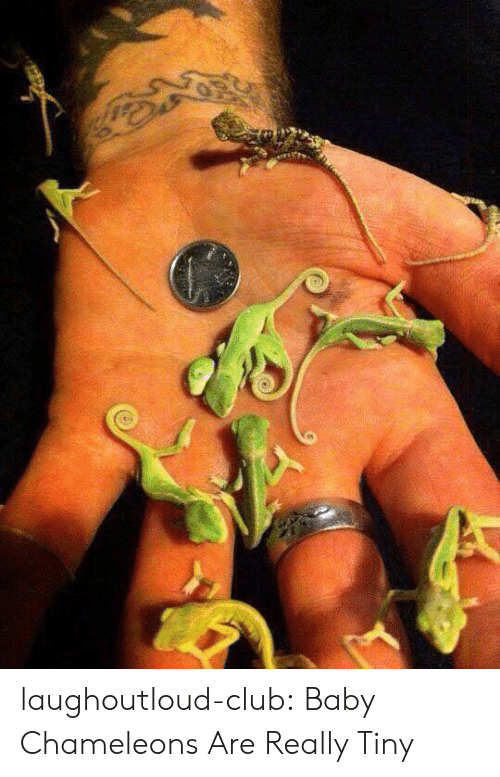 Club, Tumblr, and Blog: laughoutloud-club:  Baby Chameleons Are Really Tiny