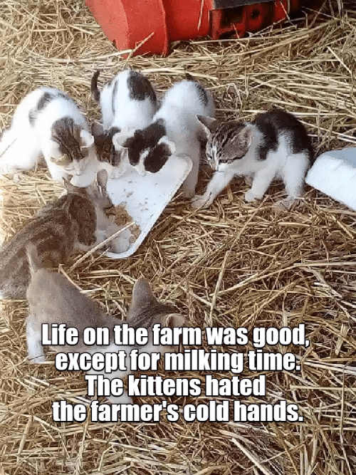 Life, Good, and Kittens: Life on the farm was good  except for milking time  The kittens hated  the farmer s cold hands