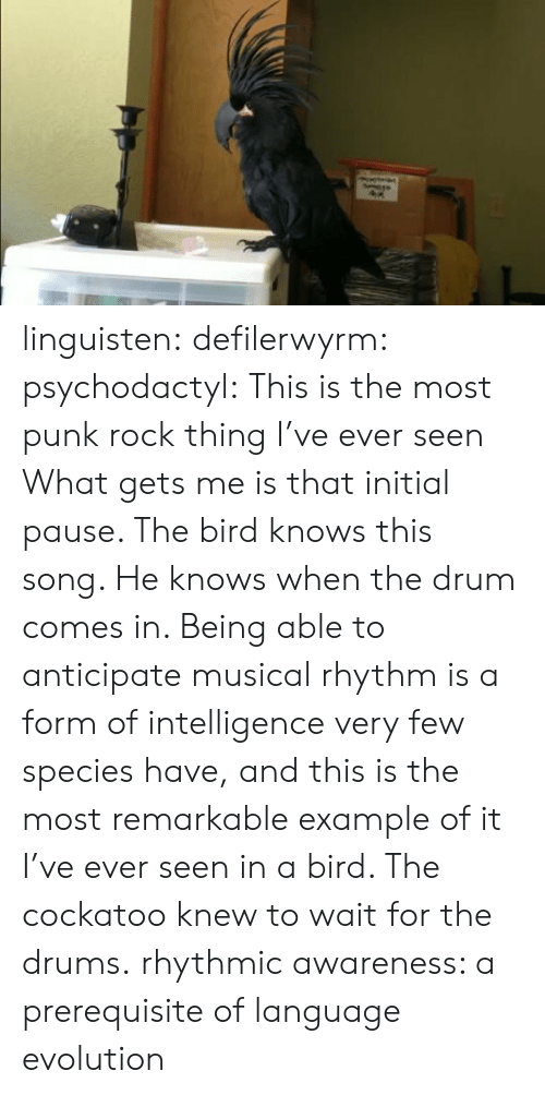 example: linguisten:  defilerwyrm:  psychodactyl: This is the most punk rock thing I've ever seen What gets me is that initial pause. The bird knows this song. He knows when the drum comes in. Being able to anticipate musical rhythm is a form of intelligence very few species have, and this is the most remarkable example of it I've ever seen in a bird. The cockatoo knew to wait for the drums.  rhythmic awareness: a prerequisite of language evolution