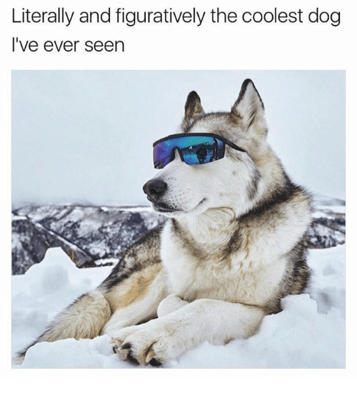 figuratively: Literally and figuratively the coolest dog  I've ever seen
