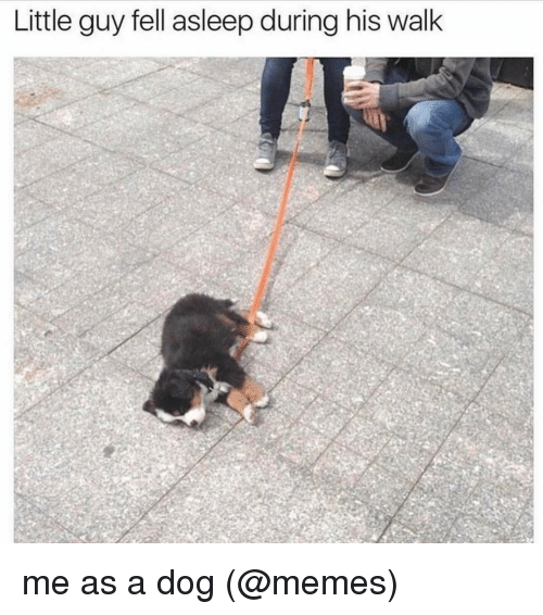Dog Meme: Little guy fell asleep during his walk me as a dog (@memes)