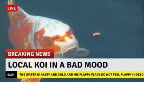 Bad, Mood, and Nasty: LIVE  BREAKING NEWS  LOCAL KOI IN A BAD MOOD  THE WATER IS NASTY AND COLD AND HIS FLAPPY FLAPS DO NOT FEEL FLAPPY INDEED  0:10