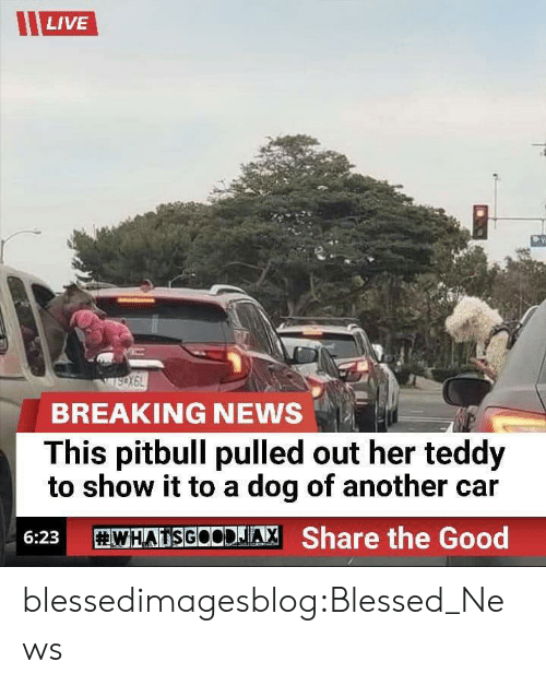 Blessed, News, and Tumblr: LIVE  BREAKING NEWS  This pitbull pulled out her teddy  to show it to a dog of another car  WHATSGOODJA, Share the Good  6:23 blessedimagesblog:Blessed_News