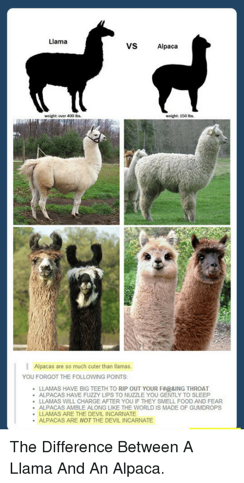 Cuter Than: Llama  VS  Alpaca  weight: over 400 Ibs  weight: 150 bs.  Alpacas are so much cuter than llamas.  YOU FORGOT THE FOLLOWING POINTS  LLAMAS HAVE BIG TEETH TO RIP OUT YOUR F#@ &ING THROAT  ALPACAS HAVE FUZZY LIPS TO NUZZLE YOU GENTLY TO SLEEP  LLAMAS WILL CHARGE AFTER YOU IF THEY SMELL FOOD AND FEAR  ALPACAS AMBLE ALONG LIKE THE WORLD IS MADE OF GUMDROPS  LLAMAS ARE THE DEVIL INCARNATE  ALPACAS ARE NOT THE DEVIL INCARNATE  . <p>The Difference Between A Llama And An Alpaca.</p>