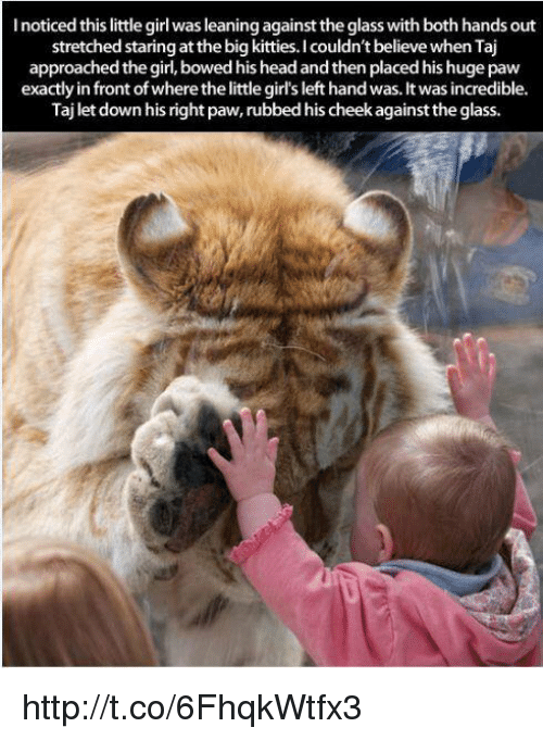Girl Left: lnoticed this little girl was leaningagainst the glass with both hands out  stretched staring at the big kitties. couldn't believe when Taj  approached the girl, bowed his head and then placed his huge paw  exactly in front ofwhere the little girls left hand was. It was incredible.  Taj let down his right paw, rubbed his cheek againstthe glass. http://t.co/6FhqkWtfx3
