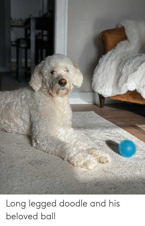 beloved: Long legged doodle and his beloved ball
