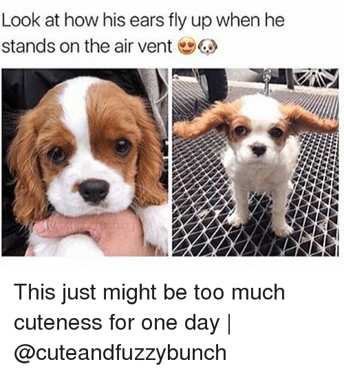Memes, Too Much, and 🤖: Look at how his ears fly up when he  stands on the air vent This just might be too much cuteness for one day | @cuteandfuzzybunch