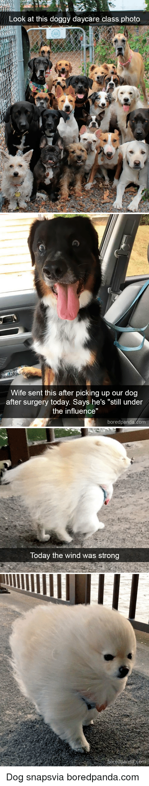 """Today, Wife, and Strong: Look at this doggy daycare class photo   Wife sent this after picking up our dog  after surgery today. Says he's """"still under  the influence""""  boredpanda.com   Today the wind was strong  boredpanda,co Dog snapsvia boredpanda.com"""