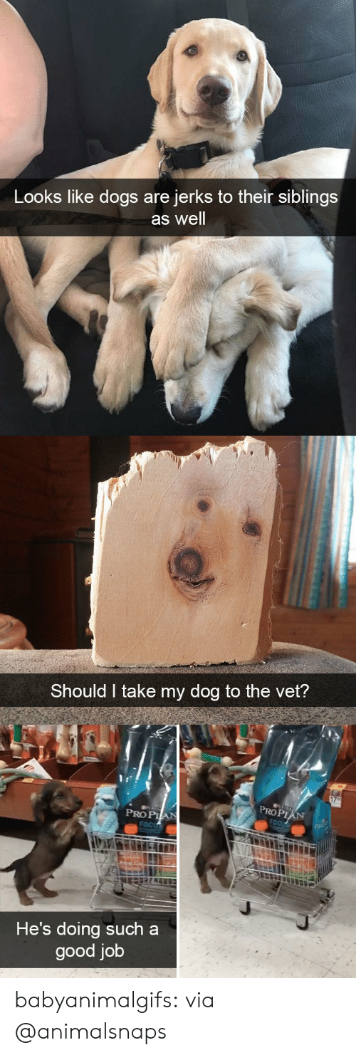Prop: Looks like dogs are  jerks to their siblings  as well   Should I take my dog to the vet?   PROP  PRO PIA  He's doing such a  good job babyanimalgifs:  via @animalsnaps