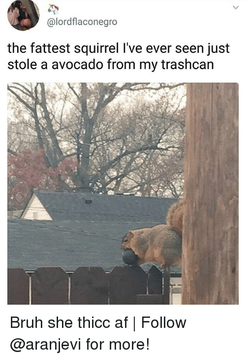 Af, Bruh, and Memes: @lordflaconegro  the fattest squirrel l've ever seen just  stole a avocado from my trashcan Bruh she thicc af | Follow @aranjevi for more!
