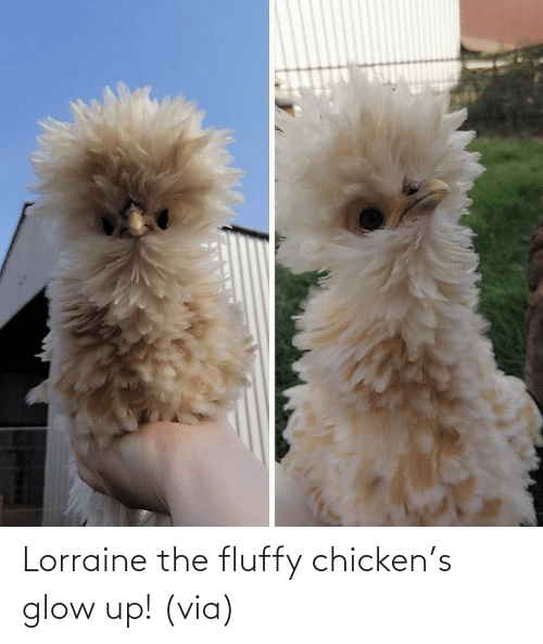 Chicken: Lorraine the fluffy chicken's glow up! (via)