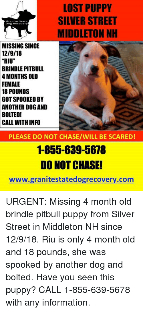 """Memes, Lost, and Pitbull: LOST PUPPY  SILVER STREET  MIDDLETON NH  Granite State  Dog Recovery  MISSING  SINCE  12/9/18     """"RIU""""  BRINDLE  PITBULL  4 MONTHS OLD  FEMALE  18  POUNDS  GOT SPOOKED BY  ANOTHER DOG AND  BOLTED!  CALL WITH INFO  PLEASE DO NOT CHASE/WILL BE SCARED  1-855-639-5678  DO NOT CHASE!  www.granitestatedogrecovery.com URGENT: Missing 4 month old brindle pitbull puppy from Silver Street in Middleton NH since 12/9/18.  Riu is only 4 month old and 18 pounds, she was spooked by another dog and bolted.  Have you seen this puppy?  CALL 1-855-639-5678 with any information."""