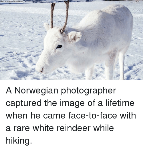 reindeer: Mads Nordsveen/Caters News) A Norwegian photographer captured the image of a lifetime when he came face-to-face with a rare white reindeer while hiking.