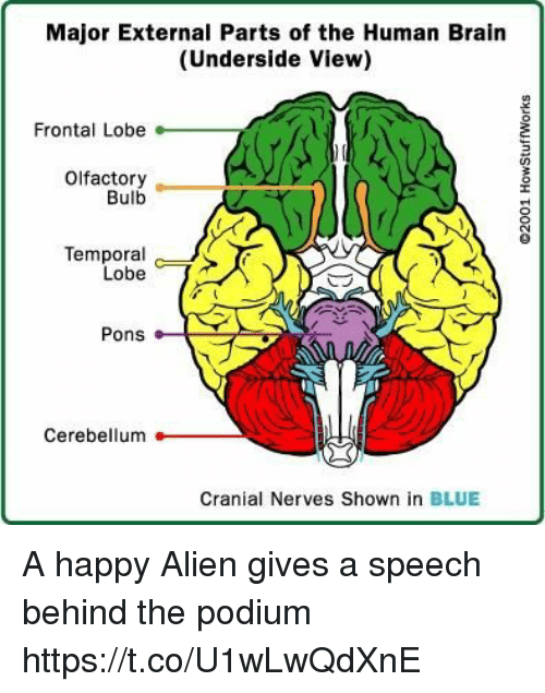 Alien, Blue, and Brain: Major External Parts of the Human Brain  (Underside View)  Frontal Lobe  Olfactory  Bulb  Temporal c )>  Lobe  Pons  Cerebellum  Cranial Nerves Shown in BLUE A happy Alien gives a speech behind the podium https://t.co/U1wLwQdXnE