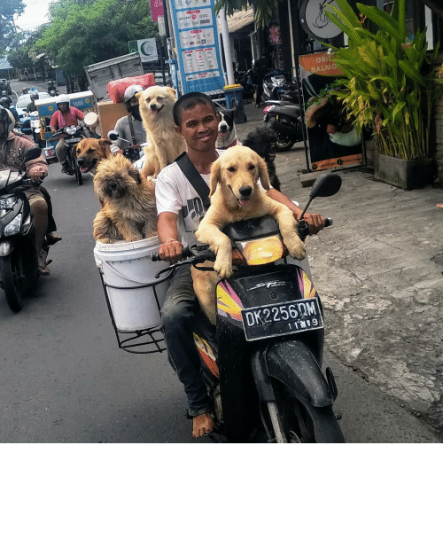 Indonesia: Man with dogs in Bali, Indonesia.