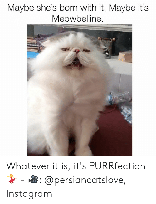 Instagram, Memes, and 🤖: Maybe she's born with it. Maybe it's  Meowbelline. Whatever it is, it's PURRfection 💃⁣ -⁣ 🎥: @persiancatslove⁣, Instagram