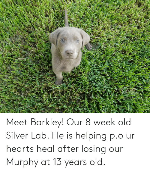Hearts, Silver, and Old: Meet Barkley! Our 8 week old Silver Lab. He is helping p.o ur hearts heal after losing our Murphy at 13 years old.