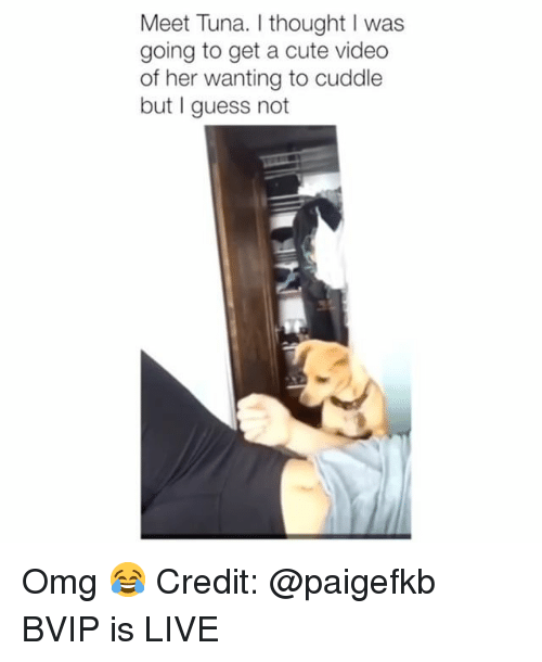Cute, Memes, and Omg: Meet Tuna. I thought I was  going to get a cute video  of her wanting to cuddle  but I guess not Omg 😂 Credit: @paigefkb BVIP is LIVE