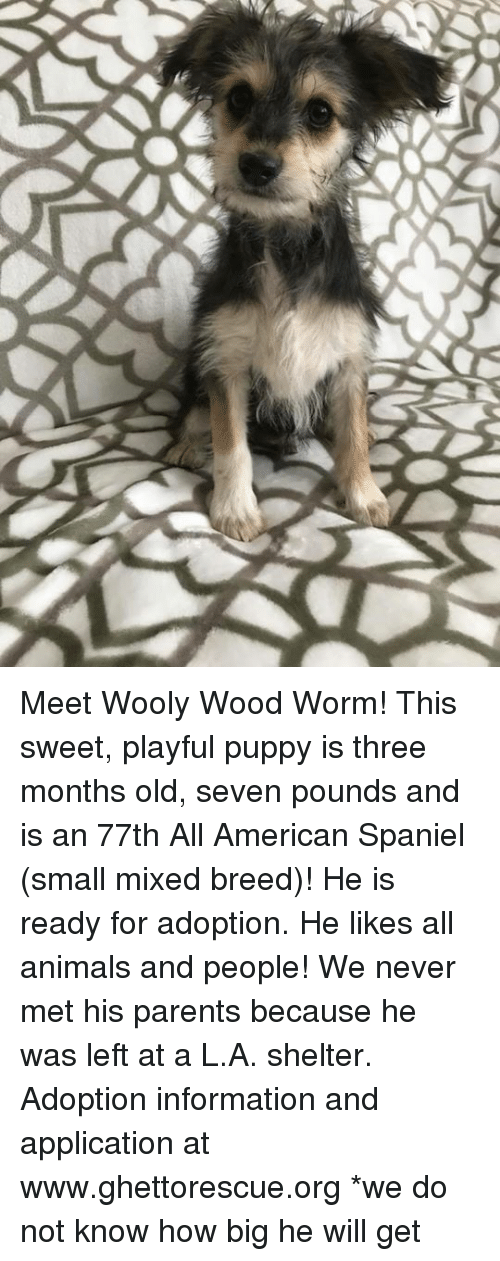 Animals, Memes, and Parents: Meet Wooly Wood Worm! This sweet, playful puppy is three months old, seven pounds and is an 77th All American Spaniel (small mixed breed)!  He is ready for adoption.  He likes all animals and people!  We never met his parents because he was left at a L.A. shelter.   Adoption information and application at www.ghettorescue.org *we do not know how big he will get
