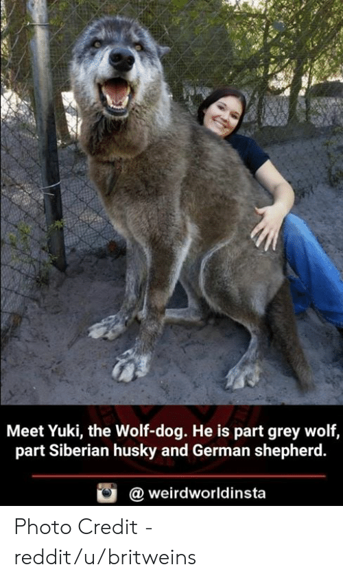 Memes, Reddit, and German Shepherd: Meet Yuki, the Wolf-dog. He is part grey wolf,  part Siberian husky and German shepherd.  @ weirdworldinsta Photo Credit - reddit/u/britweins