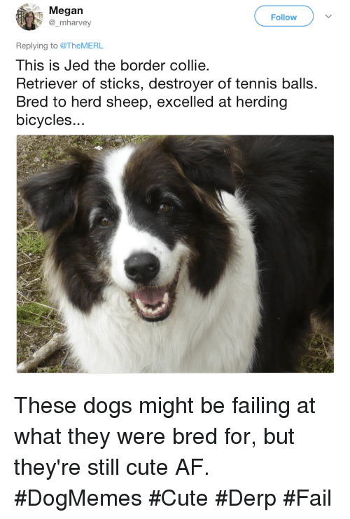 Af, Cute, and Dogs: Megan  @_mharvey  Follow  Replying to @TheMERL  This is Jed the border collie  Retriever of sticks, destroyer of tennis balls.  Bred to herd sheep, excelled at herding  bicycles.. These dogs might be failing at what they were bred for, but they're still cute AF. #DogMemes #Cute #Derp #Fail