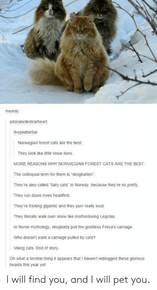 "Cats, Run, and Best: memily  adorabelledearheart  thepliablefoe  Norwegian forest cats are the best  They look like little snow lions.  MORE REASONS WHY NORWEGIAN FOREST CATS ARE THE BEST  The colloquial term for them is skogkatten.  They're also called ""fairy cats' in Norway, because they're so pretty.  They run down trees headfirst  They're fricking gigantic and they purr really loud.  They literally walk over snow like motherloving Legolas  In Norse mythology, skogkatts pull the goddess Freya's carriage.  Who doesn't want a carriage pulled by cats?  Viking cats. End of story  Oh what a terrible thing it appears that I haven't reblogged these glorious  beasts this year yet I will find you, and I will pet you."