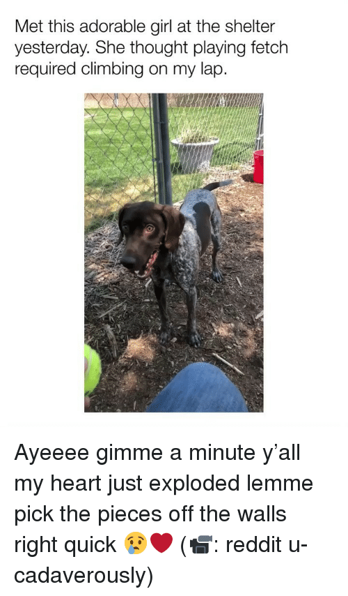 Climbing, Memes, and Reddit: Met this adorable girl at the shelter  yesterday. She thought playing fetch  required climbing on my lap Ayeeee gimme a minute y'all my heart just exploded lemme pick the pieces off the walls right quick 😢❤️ (📹: reddit u-cadaverously)