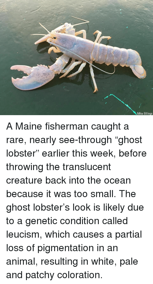 "Memes, Animal, and Ghost: Mike Billings A Maine fisherman caught a rare, nearly see-through ""ghost lobster"" earlier this week, before throwing the translucent creature back into the ocean because it was too small. The ghost lobster's look is likely due to a genetic condition called leucism, which causes a partial loss of pigmentation in an animal, resulting in white, pale and patchy coloration."
