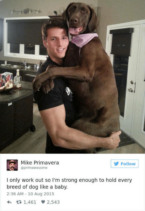 Work, Strong, and Baby: Mike Primavera  @primawesome  Follow  I only work out so I'm strong enough to hold every  breed of dog like a baby.  2:36 AM 10 Aug 2015  1,461 2,543