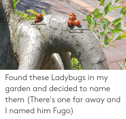 Him, One, and Bruno: Mista and Giorno  Bruno Trish, Narancia  nd Abbacchio Found these Ladybugs in my garden and decided to name them (There's one far away and I named him Fugo)