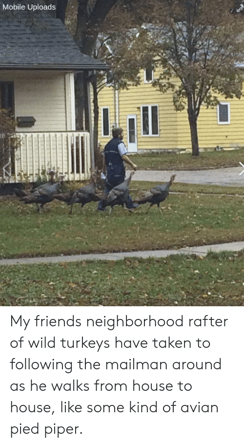 Pied: Mobile Uploads My friends neighborhood rafter of wild turkeys have taken to following the mailman around as he walks from house to house, like some kind of avian pied piper.
