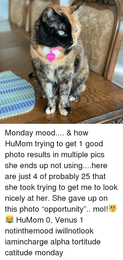 "Memes, Mood, and Good: Monday mood.... & how HuMom trying to get 1 good photo results in multiple pics she ends up not using....here are just 4 of probably 25 that she took trying to get me to look nicely at her. She gave up on this photo ""opportunity"".. mol!😼😹 HuMom 0, Venus 1 notinthemood iwillnotlook iamincharge alpha tortitude catitude monday"