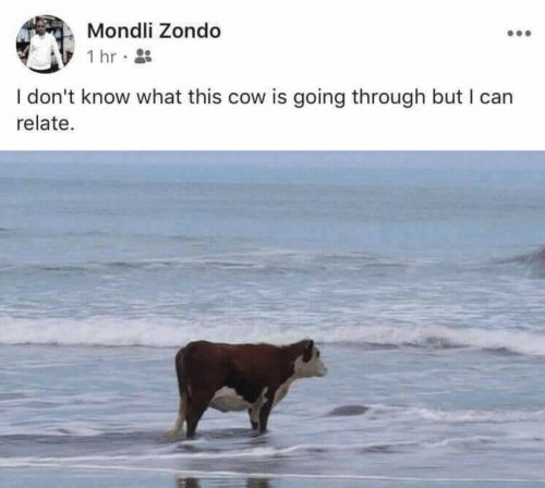 Cow, Can, and What: Mondli Zondo  1 hr  I don't know what this cow is going through but I can  relate.