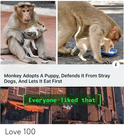 Dogs, Love, and Monkey: Monkey Adopts A Puppy, Defends It From Stray  Dogs, And Lets It Eat First  Everyone liked that Love 100