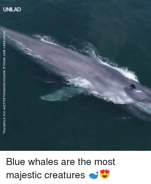 Dank, Blue, and Watch: MONTEREY BAY WHALE WATCH/GOWHALES.COM VIA STORYFUL Blue whales are the most majestic creatures 🐋😍
