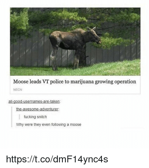 Fucking, Memes, and Police: Moose leads VT police to marijuana growing operation  NECN  the-awesome-adventurer  fucking snitch  Why were they even following a moose https://t.co/dmF14ync4s
