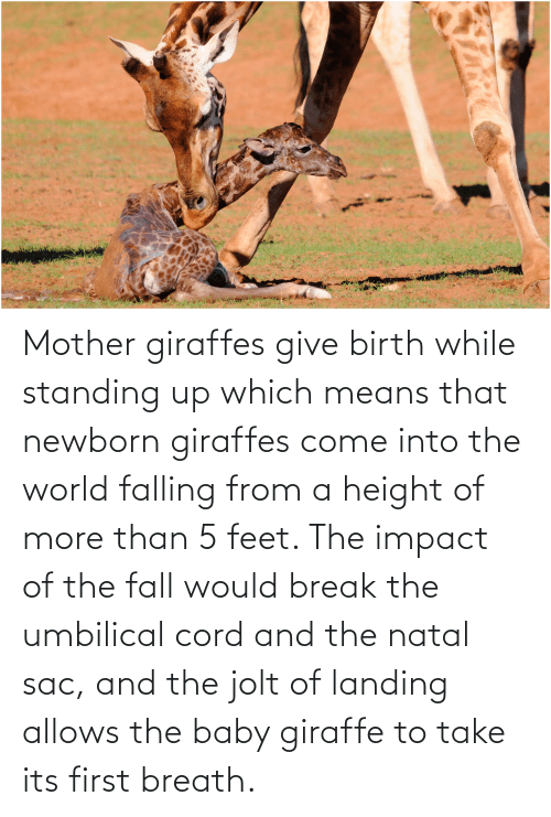 Impact Of: Mother giraffes give birth while standing up which means that newborn giraffes come into the world falling from a height of more than 5 feet. The impact of the fall would break the umbilical cord and the natal sac, and the jolt of landing allows the baby giraffe to take its first breath.
