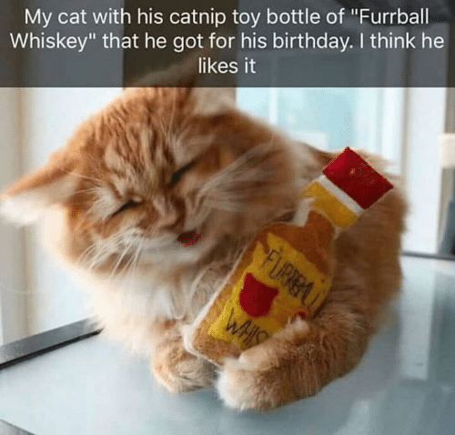 """catnip: My cat with his catnip toy bottle of """"Furrball  Whiskey"""" that he got for his birthday. I think he  likes it"""