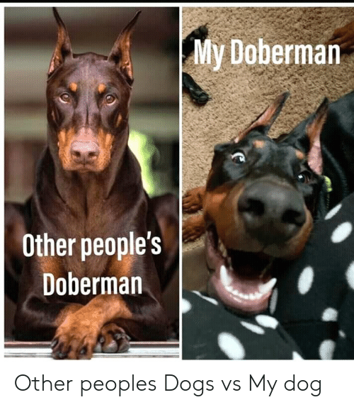 Dogs, Doberman, and Dog: My Doberman  Other people's  Doberman Other peoples Dogs vs My dog
