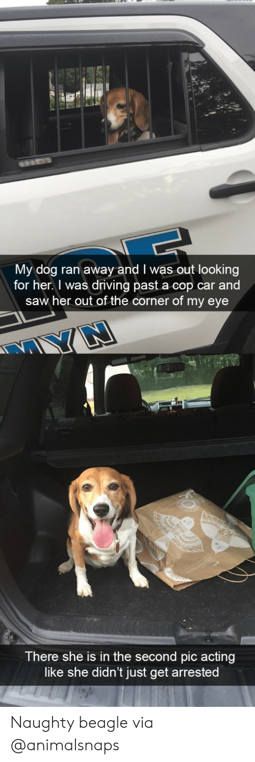 Driving, Saw, and Target: My dog ran away and I was out looking  for her. I was driving past a cop car and  saw her out of the corner of my eye  There she is in the second pic acting  like she didn't just get arrested Naughty beaglevia @animalsnaps