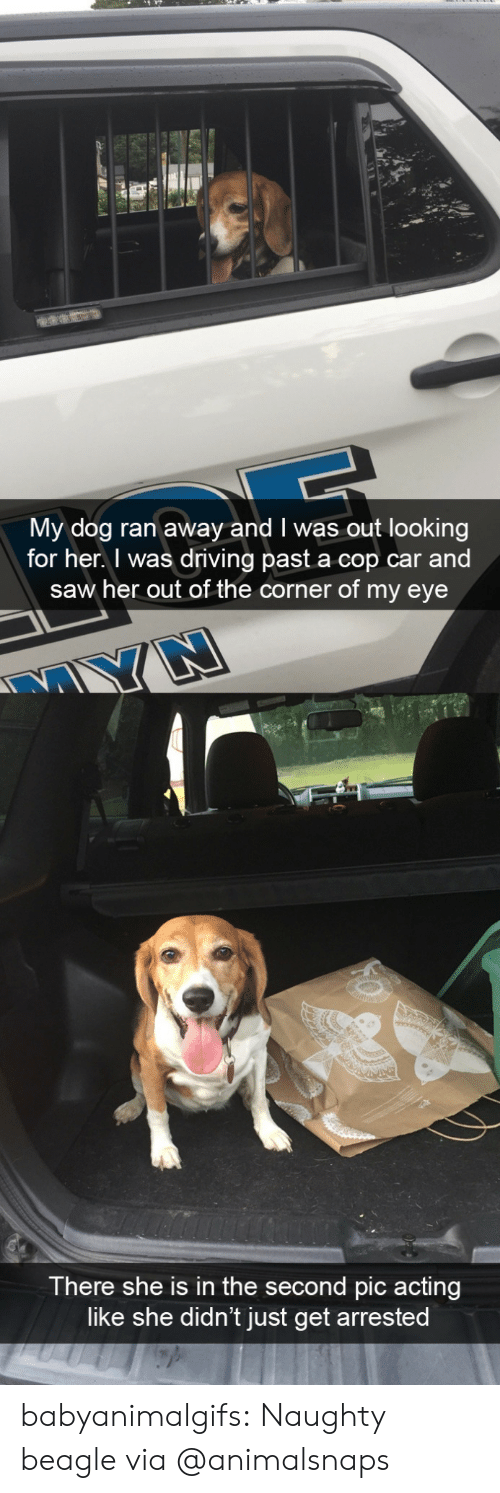 Corner: My dog ran away and I was out looking  for her. I was driving past a cop car and  saw her out of the corner of my eye  There she is in the second pic acting  like she didn't just get arrested babyanimalgifs:  Naughty beagle via @animalsnaps