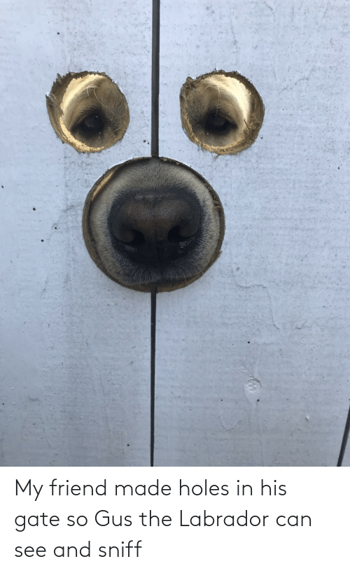 can: My friend made holes in his gate so Gus the Labrador can see and sniff