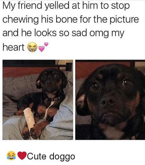 Memes, Omg, and Heart: My friend yelled at him to stop  chewing his bone for the picture  and he looks so sad omg my  heart 😂❤️Cute doggo