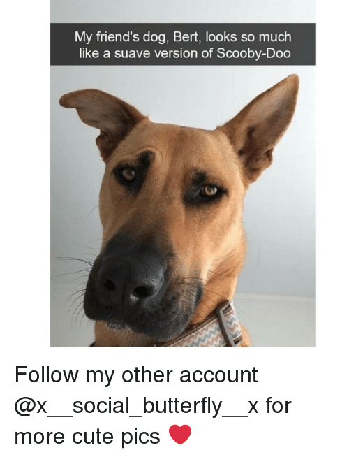 Cute, Friends, and Memes: My friend's dog, Bert, looks so much  like a suave version of Scooby-Doo Follow my other account @x__social_butterfly__x for more cute pics ❤