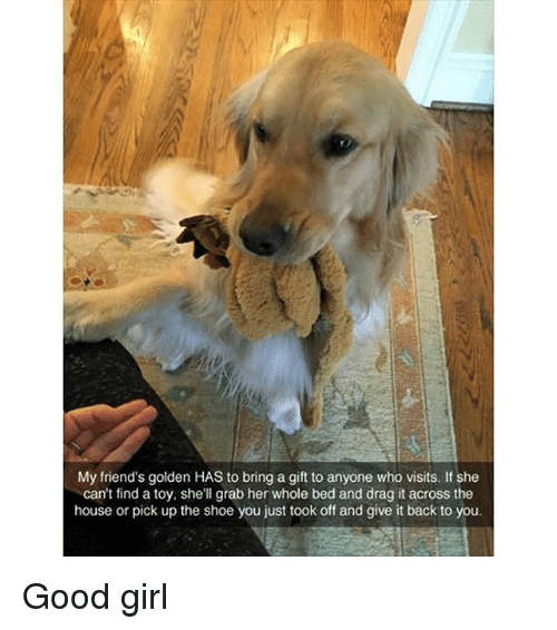 Friends, Funny, and Girl: My friend's golden HAS to bring a gift to anyone who visits. If she  can't find a toy, shell grab her whole bed and drag it across the  house or pick up the shoe you just took off and give it back to you. Good girl