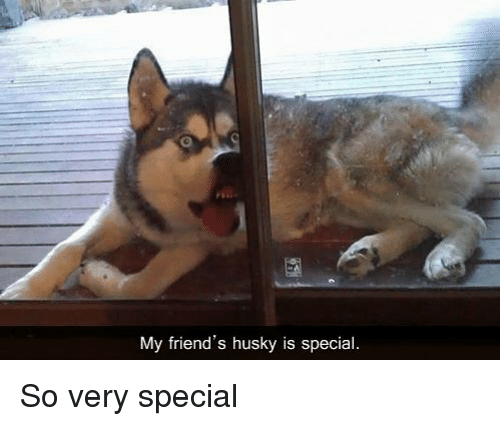 Friends, Memes, and Husky: My friend's husky is special So very special