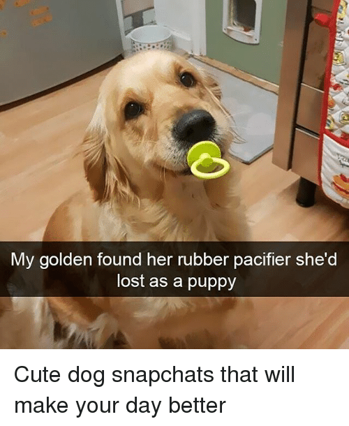 Cute, Funny, and Lost: My golden found her rubber pacifier she'd  lost as a puppy Cute dog snapchats that will make your day better