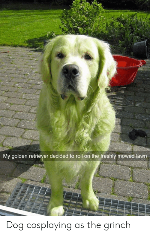 Golden Retriever: My golden retriever decided to roll on the freshly mowed lawn Dog cosplaying as the grinch